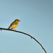 Énekes madár