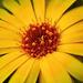 Körömvirág Ősz