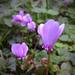 Az erdei ciklámen (Cyclamen purpurascens)