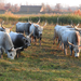 Magyar szürke szarvasmarhák
