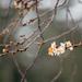 Tavasz a télben / A japáncseresznye (Prunus serrulata