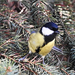 Széncinege (Parus major)