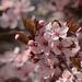 Tavasz Virágok Vadszilva