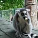 Gyűrűs farkú majom