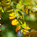 Autumn Leaves 0173