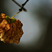 Autumn Leaf 0145