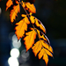 Autumn Leaves 0166