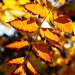Autumn Leaves 0005
