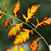Autumn Leaves 0059
