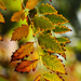 Autumn Leaves 0091