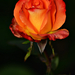 Autumn Rose 0174