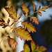 Autumn Leaves 0079