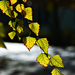 Autumn Leaves 0013