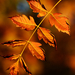 Autumn Leaves 0337