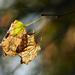 Autumn Leaves 0161