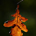 Autumn Leaf 0074