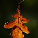 Autumn Leaf 0074