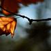 Autumn Leaf 0039