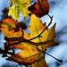 Autumn Leaves 0114
