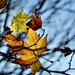 Autumn Leaves 0113