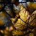 Autumn Leaf 0054