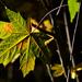 Autumn Leaves 0003
