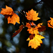 Autumn Leaves 0017