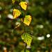 Autumn Leaves 0012