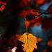 Autumn Leaves 0033