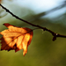 Autumn Leaf 0042