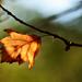 Autumn Leaf 0042