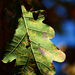 Autumn Leaf 0213