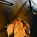 Autumn Leaf 0017