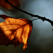 Autumn Leaf 0040