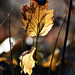 Autumn Leaf 0076