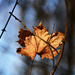 Autumn Leaf 0210