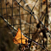 Autumn Leaf 0144