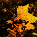 Autumn Leaf 0270