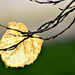 Autumn Leaf 0363