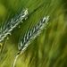 Grain 0057