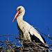 Stork 0009