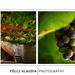 Sümegi vár - szőlő
