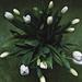 Tulipánok anyák napjára
