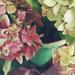 hortenzia indafoto 640x960 másolata