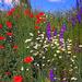 Pipacsok és mezei virágok