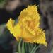 Cakkos tulipán