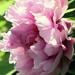 Pünkősdi rózsa