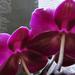 virágzik az orchideám