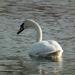 Hattyúk. Tisza-tó.
