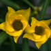 Két sárga